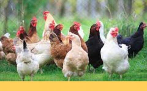 How I started My Chicken Farm